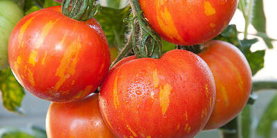 Необычные сорта томатов – с узорчатыми и бархатными плодами
