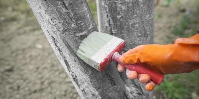 Секреты старого садовода о побелке деревьев