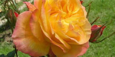 20 самых лучших двуцветных и пестрых чайно-гибридных роз для вашей дачи