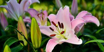 Лилия – девственная королева сада