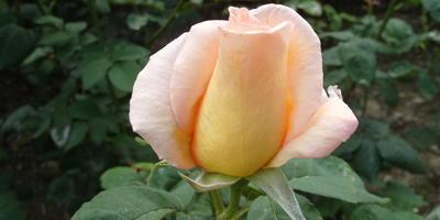 15 самых лучших белых, кремовых, желтых, оранжевых чайно-гибридных роз для вашей дачи
