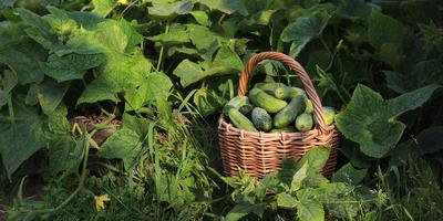 Огурец - секреты выращивания