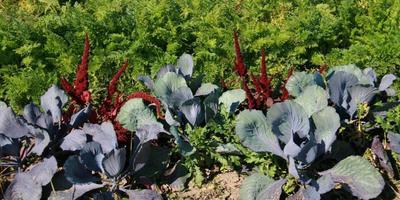 Краснолистные овощи и злаки для дачных композиций