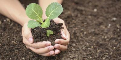 12 секретов выращивания рассады капусты