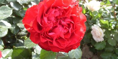 15 лучших романтических роз