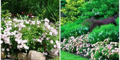 10 лучших сортов полиантовых роз