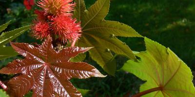 """Клещевина - """"пальма"""", которая быстро растет и практически не требует ухода"""