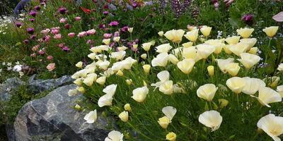 Эшшольция - трепетные бабочки на клумбе