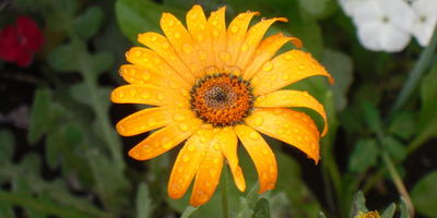 Диморфотека: особенности выращивания и ухода