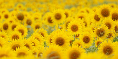Декоративный подсолнечник — солнце на клумбе