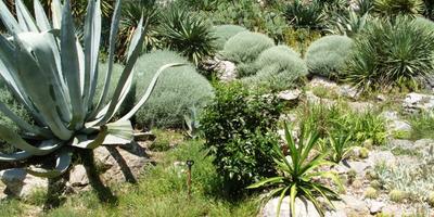 Серебристолистные травянистые растения: украшение дачи с весны до осени