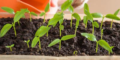 Болгарский перец: требования к влаге и почве