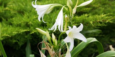 Редкие луковичные растения из семейства Амариллисовых