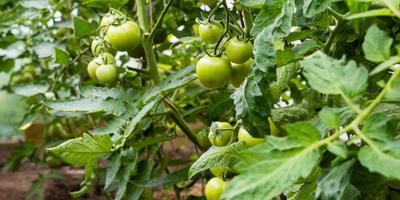 Как пасынковать помидоры правильно