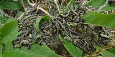 Луговой мотылек: опасный вредитель с ласковым названием