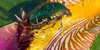 Бронзовка золотистая — хулиганка в цветнике