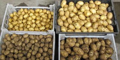 Посадочный картофель готовим с осени