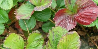 Земляника садовая: как распознать скрытый голод