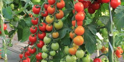 """Лучшие томаты от агрофирмы """"Гавриш"""": черри, биф, коктейльные"""