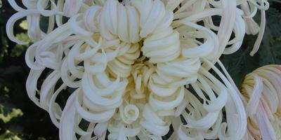 Виват отечественным сортам хризантем!