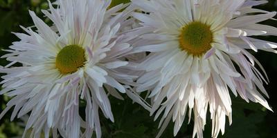 Никитские сорта крупноцветковых хризантем