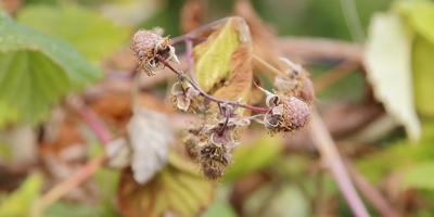 Фитофтороз земляники и малины