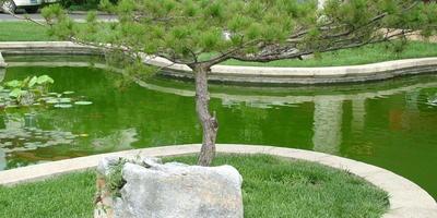 Деревья и кустарники с ажурной кроной для украшения дачи