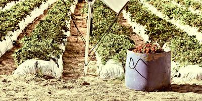 Вертициллезное увядание земляники и малины: профилактика, диагностика и лечение
