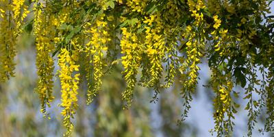 Изящная полутень: деревья и кустарники с полуажурной кроной