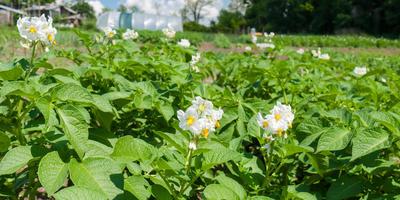 Карантинные вредители картофеля: потенциальная угроза, которая может стать реальностью