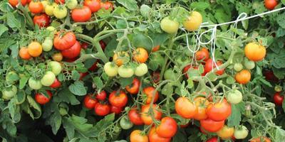 Выращиваем томаты в грядах-коробах