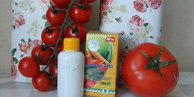 «Байкал ЭМ-1» против фитофтороза томатов: результаты исследований