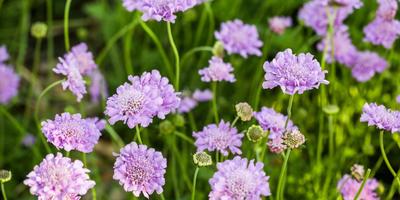Незаменимых у нас нет: двойники цветочных однолетников