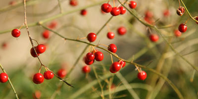 Чудо-спаржа: выращивание, посадка и уход