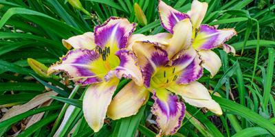 Лилейник — цветок удачи в наших садах