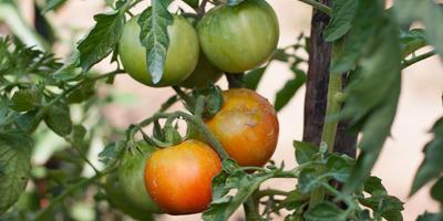 Мои проблемы с томатами в 2018-м
