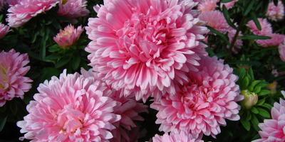 10 растений, цветущих в августе