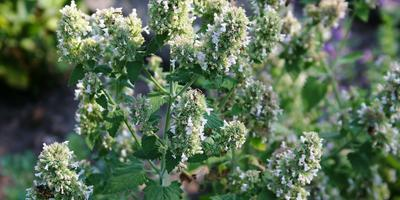 Растения для приготовления сиропов и сорбетов: 6 узнаваемых ароматов