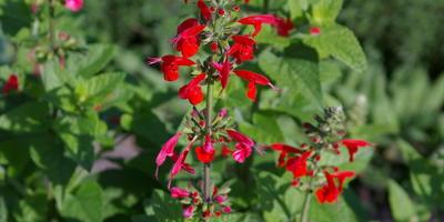 9 многолетних шалфеев для дачи: особенности выращивания