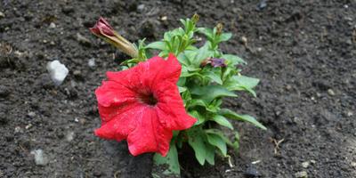 11 вопросов о петуниях, ответы на которые хочет знать каждый цветовод