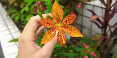 Редкие гости цветников: необычные многолетники