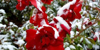 Кого пора укрывать? Растения, которые отказываются зимовать без укрытия