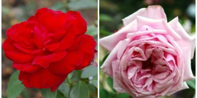 Чайно-гибридные розы – примадонны розового царства