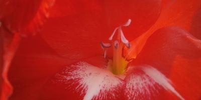 Пора цветения гладиолусов