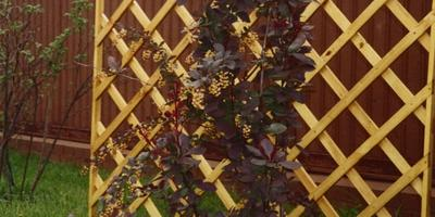 Шпалера - стильное украшение сада