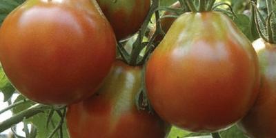 Необычные сорта томатов – белоплодные и черноплодные