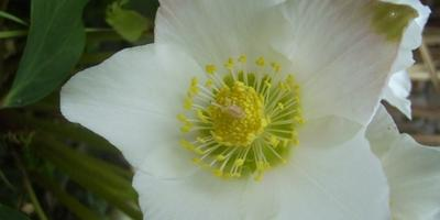 Морозник или Рождественская Роза