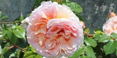 Настоящие аристократки сада - плетистые розы