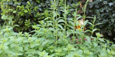 Горная трава, приносящая радость, или материнка