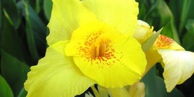 Секреты выращивания канны садовой